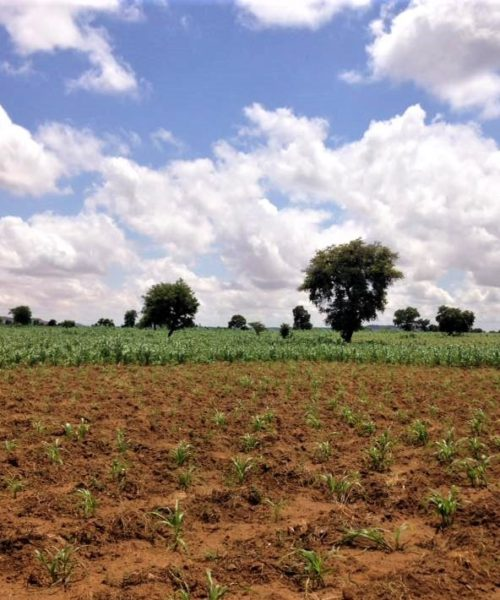 A farmer's field in Niger